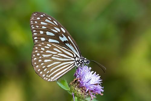 Ideopsis vulgaris macrina blue glassy tiger DSC_6818 copy
