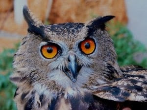 Owls are natural predators of mice