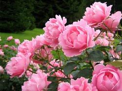 Растения для привлечения любви. Часть 4