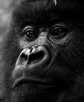 gorille pensif