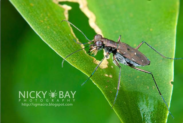 Tiger Beetle (Cicindelinae) - DSC_1614