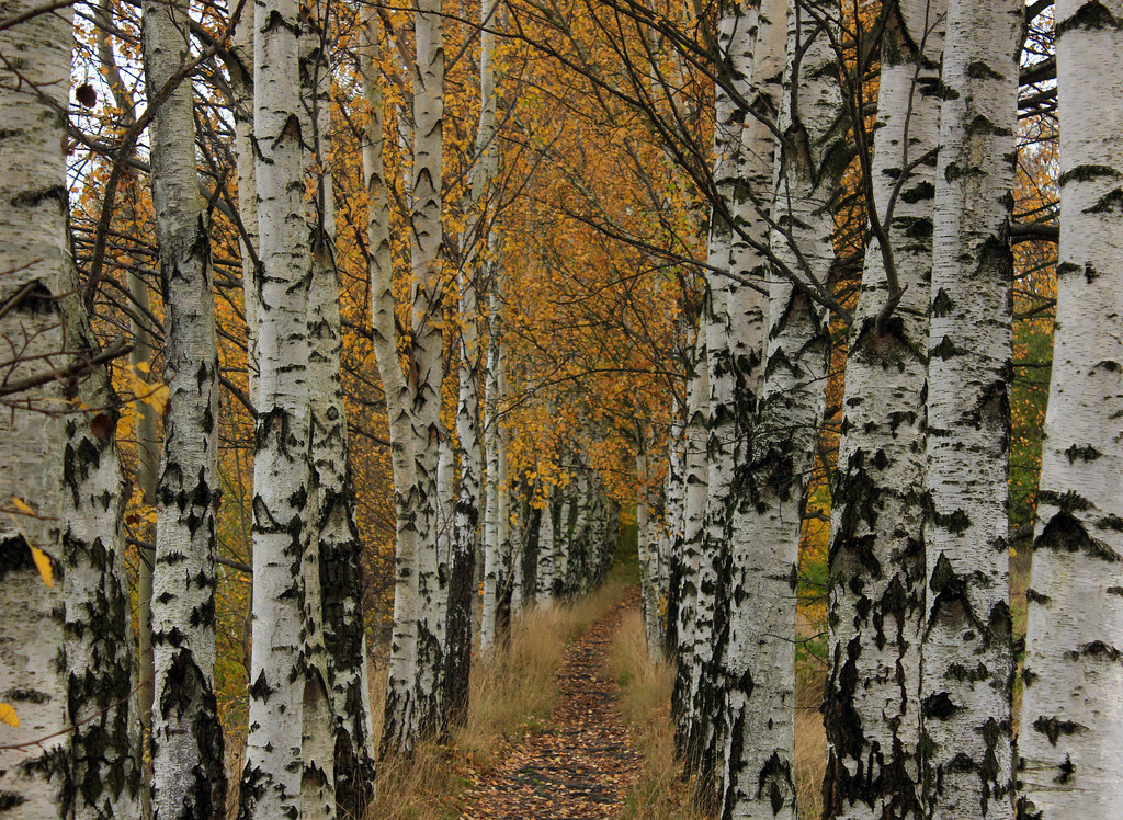 The Birch Alley
