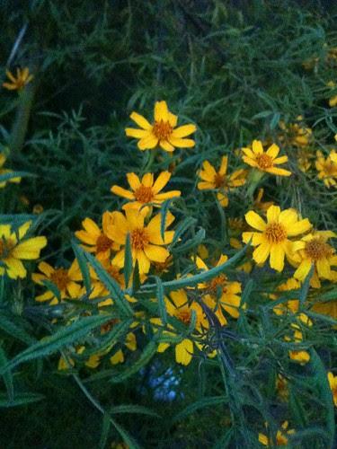 Tagets at Ineke's garden