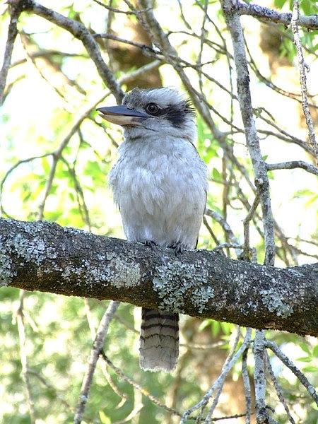 File:Kookaburra1.jpg