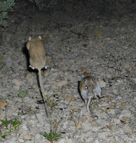 mouse fight!