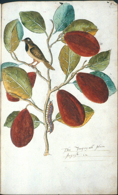 The Imperyall plum