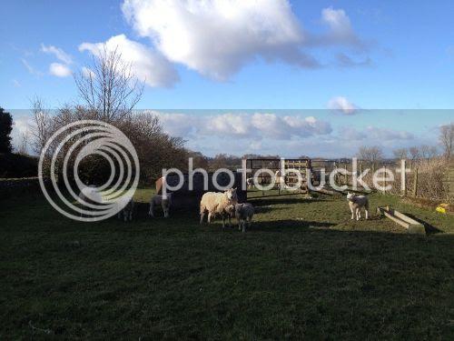photo sheeps_zps0e6c117e.jpg