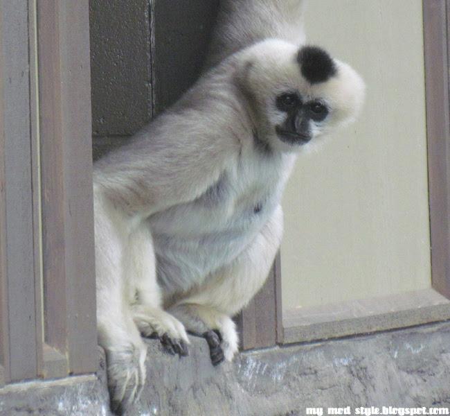 Denver Zoo White Monkey