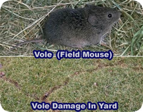 Getting Rid Of Moles 5 Important Facts How To Get Rid Of Moles In Your Yard And Garden With