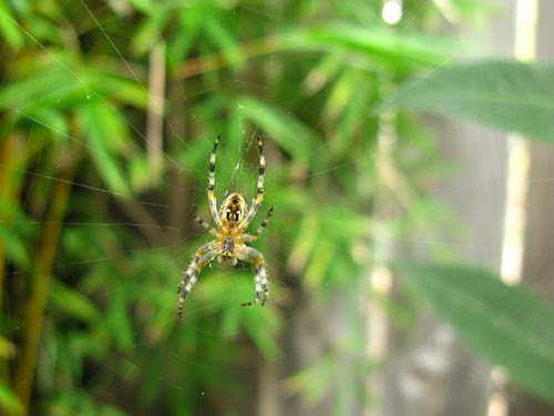 I seem to have a dozen of these spiders right now. Strangely, they don't bother me. I'm otherwise quite arachnophobic.