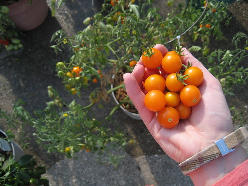 tomatoes from garden