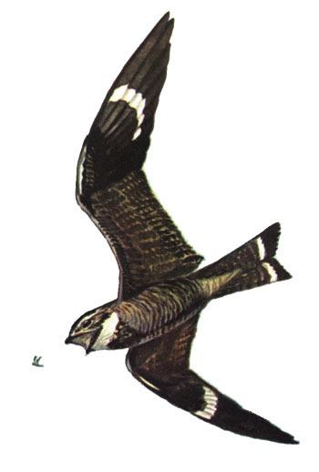 Common Nighthawk, Chordeiles minor, Offset rep...