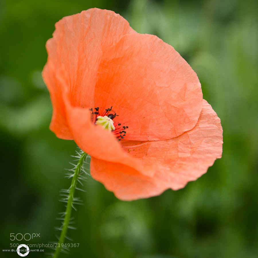 *red poppy* by Nico Frische (Blende2punkt8)) on 500px.com