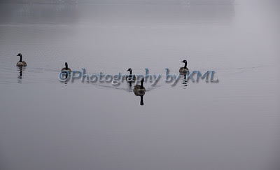 five geese gliding across the water in the fog