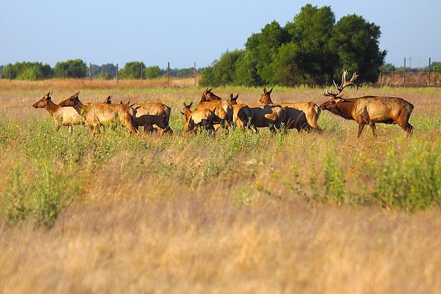 IMG_6539 Tule Elk, San Luis National Wildlife Refuge