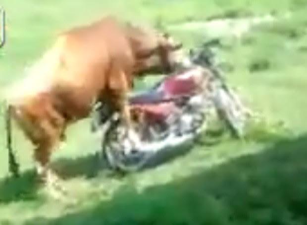 Animal tentou fazer sexo com moto mas veículo acabou andando e caindo logo a frente (Foto: Reprodução/LiveLeak/trustedsource11)