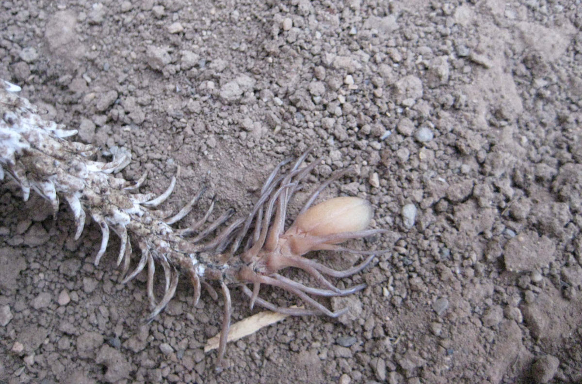 Fascinante víbora usa sua cauda em forma de aranha para atrair presas