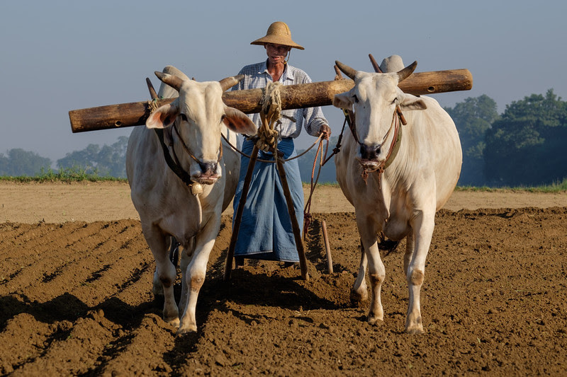 Oxen working a field (front)