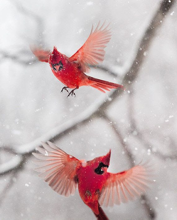 My sweet daddy cardinal (who is beating himself silly on my greenhouse window) will never get to fly in the snow like these two!!