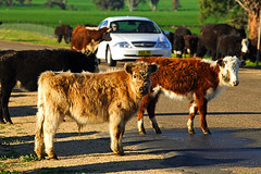 IMG_4556_Cattle_Drive
