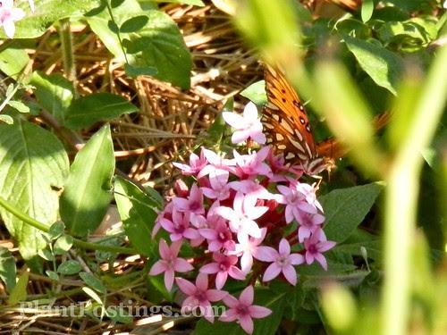 pentabutterfly