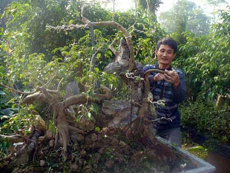 Anh Nguyễn Ngọc Sơn chỉnh sửa một cây sanh theo thế long chầu.