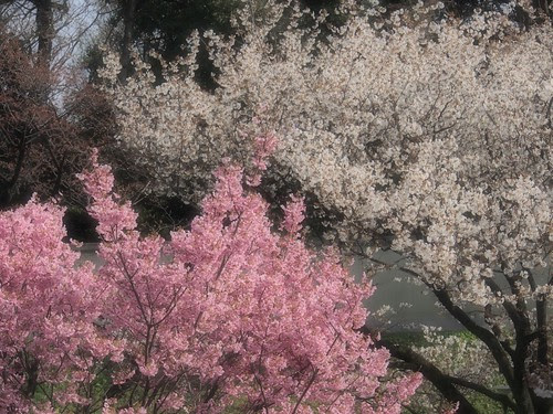 2色の桜 by ファンタジックフォーカス