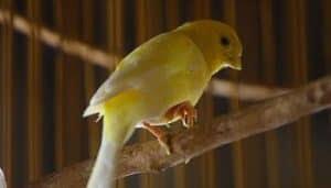 Memelihara Burung kenari peliharaan memang tidak terlalu sulit dalam hal perawatannya 7 Macam Penyakit Burung Kenari
