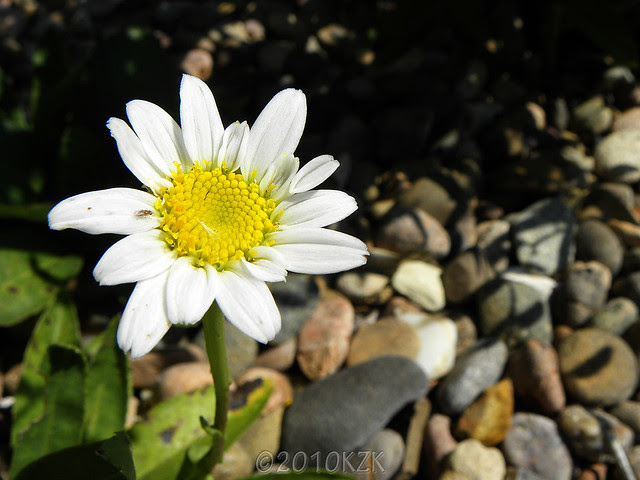 DSCN6438 Daisy