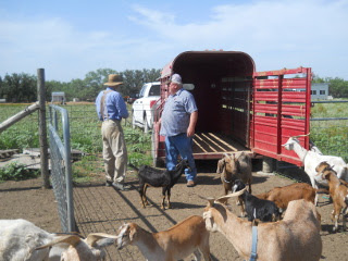 Preparing Animal Trailer for Loading the Goat Kids