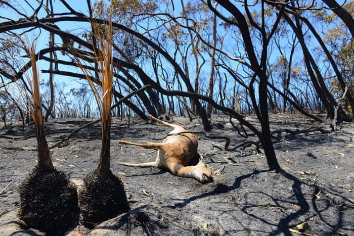 A deer lays dead after a bushfire moved through the area near One Tree Hill in the Adelaide Hills on January 5, 2015. Firefighters raced January 5 to contain a major blaze before the forecast return of strong winds and a heatwave, following the loss of 26 homes in the worst bushfire conditions in South Australia for three decades.