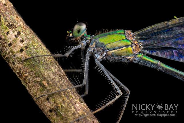 Common Flashwing (Vestalis amethystina) - DSC_0345