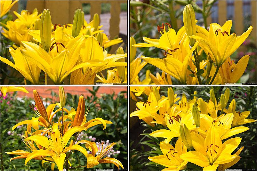 Жёлтые лилии | Yellow lilies
