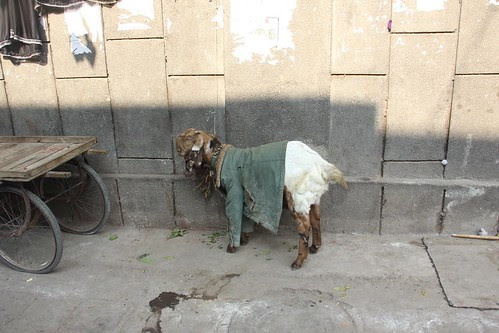The Sacrificial Goat ,,,has all the comforts before slaughter,,, by firoze shakir photographerno1