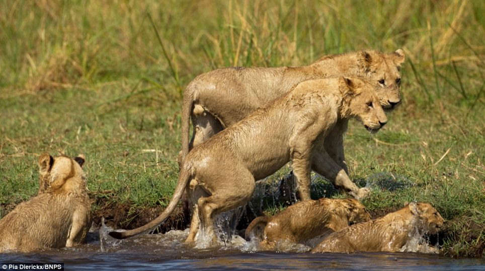 Diversion: As the lioness struggled with the lurking reptile, the rest of the pride were able to cross the river in safety