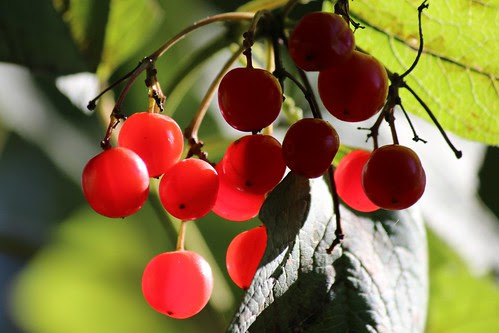 IMG_2867_Red_Berries
