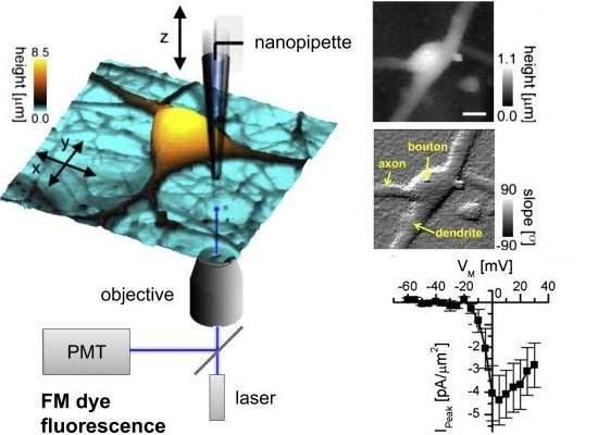 Corrente elétrica de sinapse é medida pela primeira vez