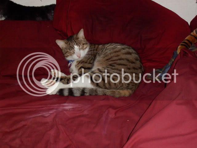 Tabby Cat,Domestic Cat,Sir Tristan