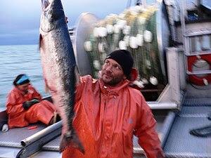 English: Sockeye harvested at Bristol Bay near...
