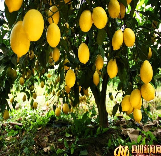 Buy Cheap 20 Pcs Bag Lemon Seeds Home Plant Delicious