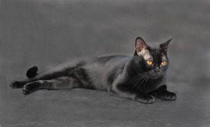 Czarny Kot Z Niebieskimi Oczami Rasa