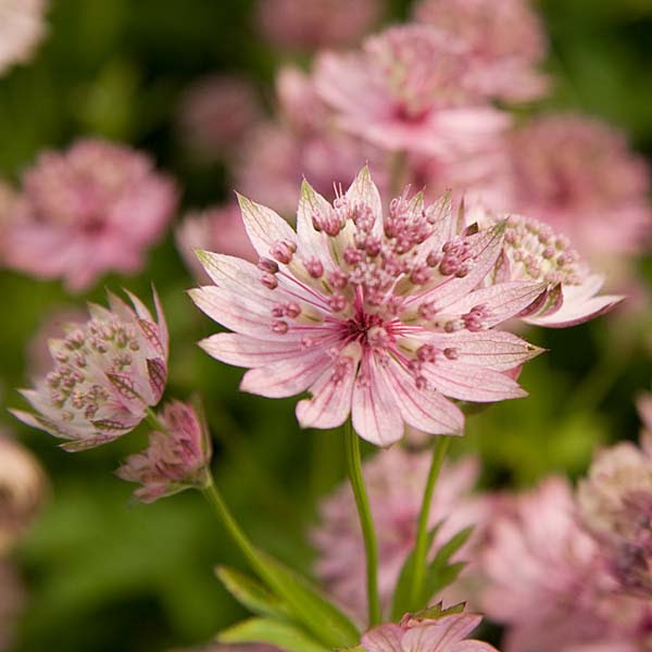 Astrance - Astrantia major Buckland