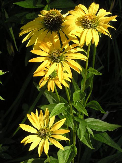 Echinacea 'Leilani'