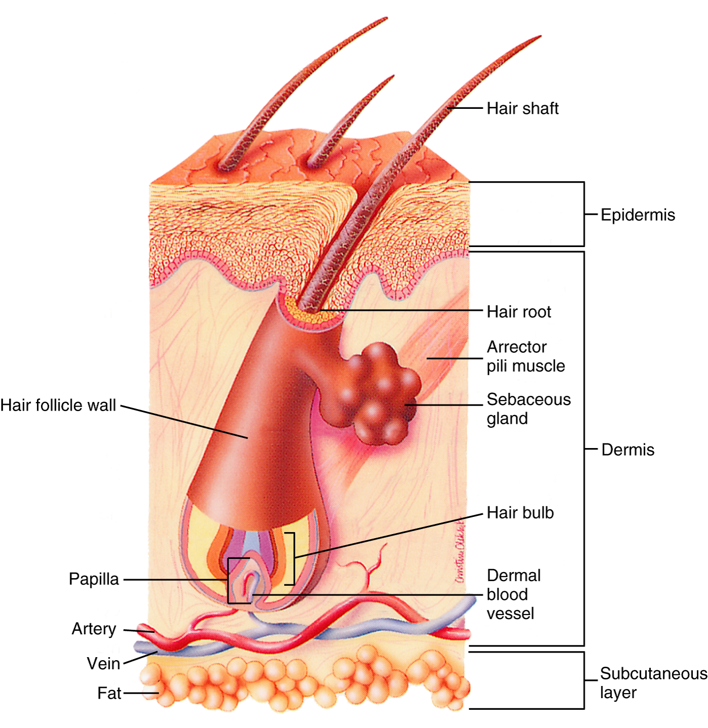 hair follicle tubelike structure
