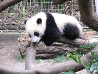 San Diego Zoo Panda