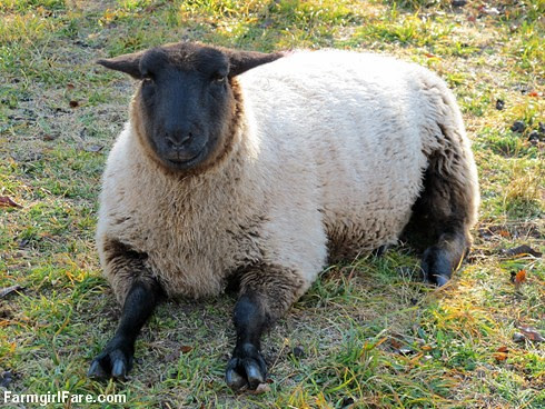 (11) Sitting sheep look so cute with their front legs sticking out - FarmgirlFare.com