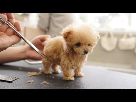 So cute! Toy Poodle Grooming