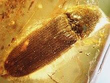 Batic amber Coleoptera Elateridae 1.JPG