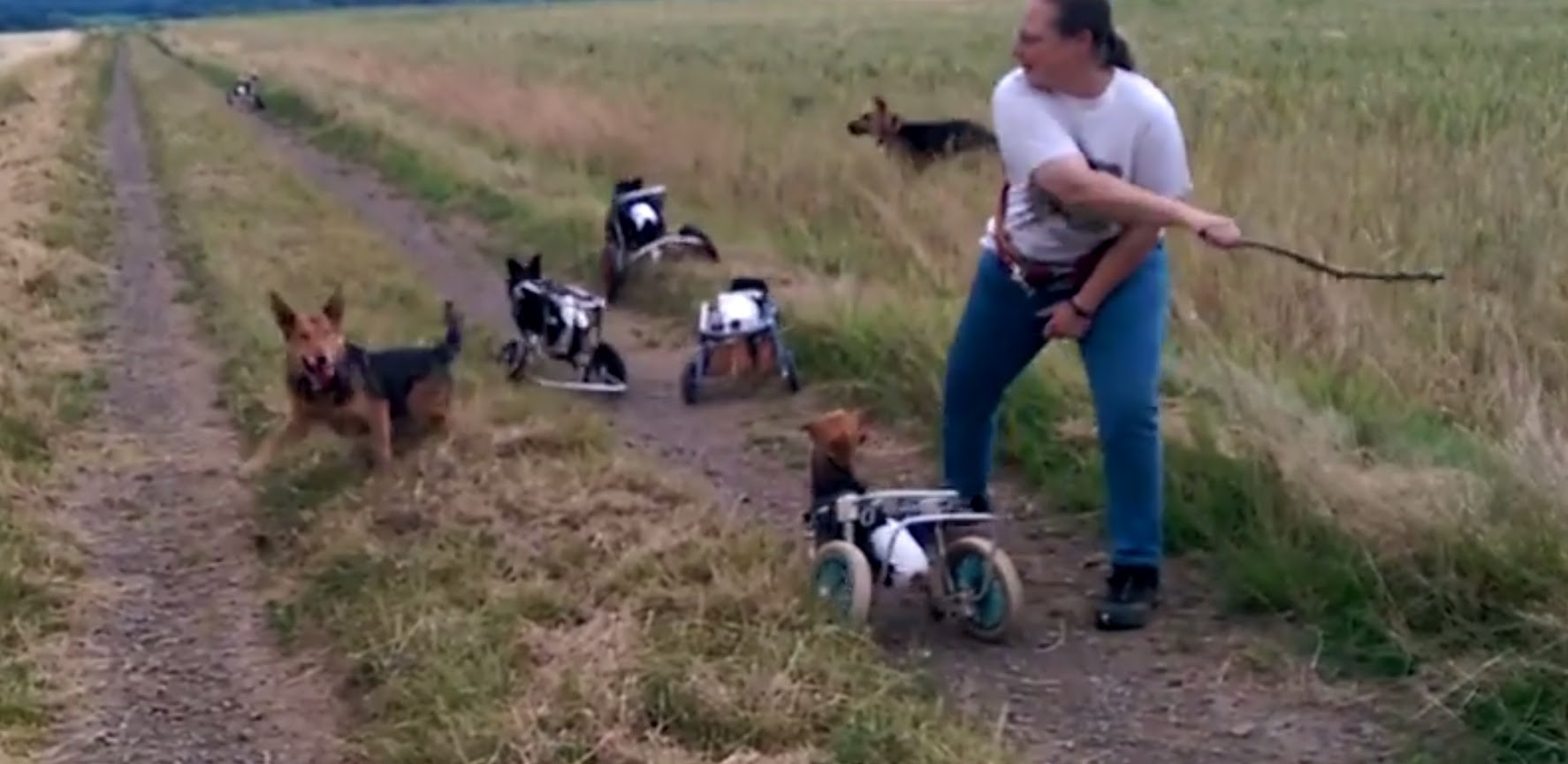 Watching 5 Paralyzed Dogs Play Fetch Using Wheelchairs Will Make You