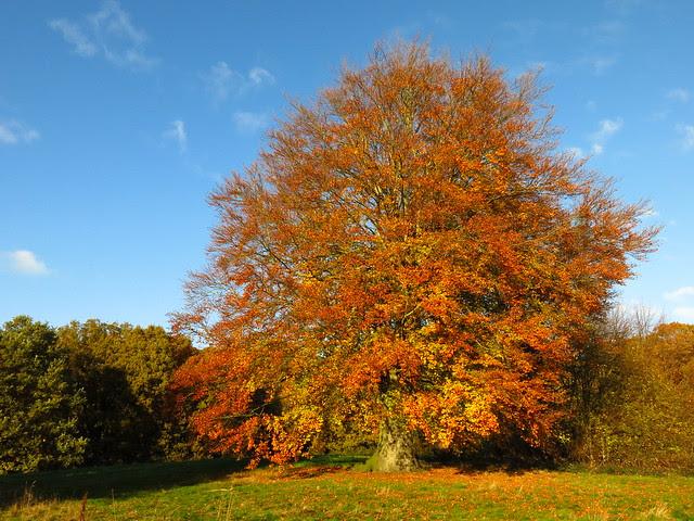 Beech Tree on Lower Cohen's Field